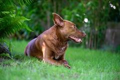 Milly 06-2019 (2) (Armin Rodler) Tags: milly dog hund animal tier pinscher nikon d610