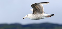 J78A0160 (M0JRA) Tags: scotland isles mull sea water waves boats reflections land birds holidays vacations sky clouds sunset sun deer fields roads gulls