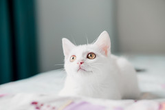 Vietnam Next Top Meowdel (tinhyeu_biboquen_11792) Tags: cats cat kitty white cute cutie pets pet eyeaf sony a6000 sigma56mm sigma5614 sigma56 vietnam mèo trắng furry closeup bed bright portrait