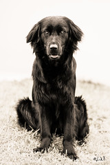 Dog portrait (chicos54) Tags: golden retriever german shepherd berger allemand portrait chien dog high key
