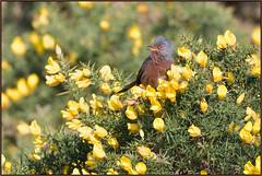 Dartford Warbler (image 1 of 2) (Full Moon Images) Tags: dunwich heath nt national trust wildlife nature reserve bird gorse dartford warbler