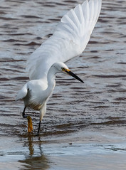 Little Egret (pootlepod) Tags: canon 7dmkii wildlife rspb rspbsouthwest littleegret egret feeding wings display gull balckheadedgull esturial estury river exe bowlinggreen reserve nature natural raw glimpse fleetingmoment
