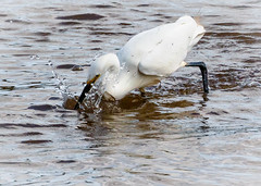 Little Egret feeding (pootlepod) Tags: canon 7dmkii wildlife rspb rspbsouthwest littleegret egret feeding wings display gull balckheadedgull esturial estury river exe bowlinggreen reserve nature natural raw glimpse fleetingmoment