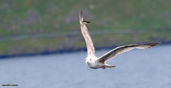 J78A0161 (M0JRA) Tags: scotland isles mull sea water waves boats reflections land birds holidays vacations sky clouds sunset sun deer fields roads gulls