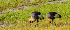 Grey crowned crane (Tiago_Moreira23) Tags: crane crowned grey africa kenya amboseli national park safari canon tamron 70300 nature free animals trip old camera good photos 7d