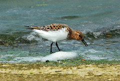 SANDLING at GRAFHAM (11birdman11) Tags: britishbirds birds butterflies bugs moths mammals