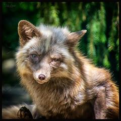 silver fox (P.Höcherl) Tags: 2019 animal tier fuchs silberfuchs fox silver bokeh nikon d5300 tamron 16300mm