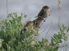 IMG_6160 (jesust793) Tags: pájaros birds naturaleza nature