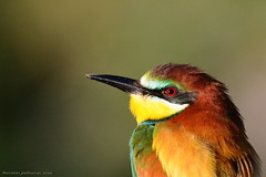 Retrato Abejaruco (antonio palmeras palmeras) Tags: ave animal aves naturaleza nature pájaro pájaros bird birds