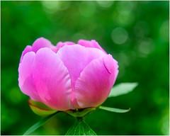 The Grand Opening (Timothy Valentine) Tags: garden 0619 clichésaturday flower peony bloom 2019 home eastbridgewater massachusetts unitedstatesofamerica