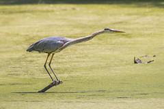 060419 - 144025 (Glenn Anderson.) Tags: greatblueheron hunting fishing pondscum wings feathers animal beak avian predator portraitplumagedetaillongneck