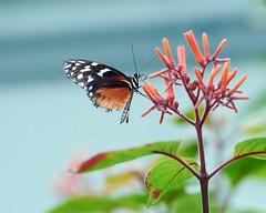 Butterfly Burgers' Zoo Arnhem. (d50harry123) Tags: natuur waterdruppel waterdruppels macro vlinder butterfly zoo mangrove burgerszoo dierentuin macrophotography