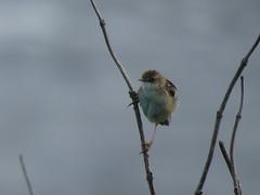 IMG_6155 (jesust793) Tags: pájaros birds naturaleza nature