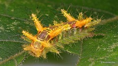 Stinging Nettle Slug Caterpillar, Limacodidae (Ecuador Megadiverso) Tags: 10mm andreaskay caterpillar cupmoth ecuador focusstack limacodidae stingingnettleslugcaterpillar