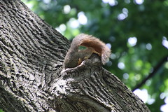 3/366/4020 (June 14, 2019) -Fox Squirrels (and friends) on a Spring Day at the University of Michigan - June 14th, 2019 (cseeman) Tags: gobluesquirrels squirrels foxsquirrels easternfoxsquirrels michiganfoxsquirrels universityofmichiganfoxsquirrels annarbor michigan animal campus universityofmichigan umsquirrels06142019 spring eating peanuts juneumsquirrel juveniles juvenilesquirrels lefty leftysquirrel missingpaw umleftysquirrel cavity cavitynest squirrelnest nest siblings 2019project365coreys yeartwelveproject365coreys project365 p365cs062019 356project2019