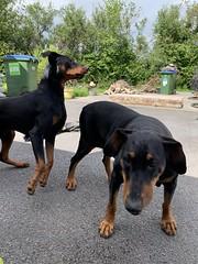 Dobermann Pinschers Saxon And Gabbana (firehouse.ie) Tags: dog male dogs female doberman dobie pinscher dobe dobermann dobey dobies dobermans dobes pinschers dobermanns dobeys animal animals k9