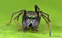 Jumping spider, Sarindini, Salticidae (Ecuador Megadiverso) Tags: 4mm andreaskay ant arachnida ecuador focusstack jumpingspider mimicry salticidae spider sarindini