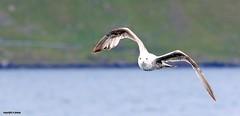 J78A0163 (M0JRA) Tags: scotland isles mull sea water waves boats reflections land birds holidays vacations sky clouds sunset sun deer fields roads gulls