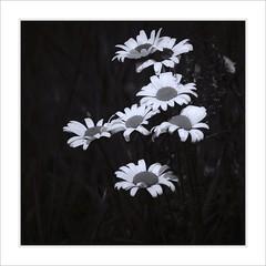 Ox-Eye Daisy (Maximilian Busl) Tags: flower blackandwhite daisy square hasselblad 500cm cfv50c oberfranken nature plant