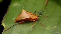 Fungus Beetle, Ellipticus spinifer, Erotylidae (Ecuador Megadiverso) Tags: andreaskay beetle coleoptera ecuador ellipticusspinifer elytralspines erotylidae pleasingfungusbeetle
