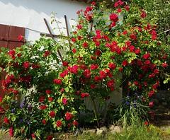 Roses (claudine6677) Tags: blumen rosen kletterrosen roses garden flowers