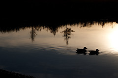 The Black Ducks / Die Schwarzen Enten (Marius Maximus) Tags: nature natur ducks enten see lake goldenhour goldenestunde cologne köln spiegelung mirroring sunset sonnenuntergang canon200d canonphotography mood
