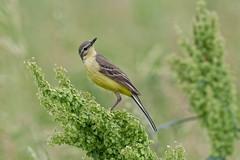 Желтая трясогузка, Motacilla flava flava, Yellow Wagtail (Oleg Nomad) Tags: желтаятрясогузка motacillaflavaflava yellowwagtail птицы москва bird aves moscow