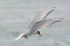 Arctic Tern bringing in fish. (E P Rogers) Tags: arctictern sternaparadisaea wings fish grace beauty feathers anglsey wales