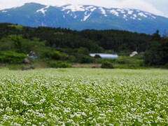 flowers of buckwheats (murozo) Tags: buckwheat flower white green mountain mtchokai snow cloud nikaho akita japan 蕎麦 蕎麦畑 花 白 山 鳥海山 雪 雲 にかほ 秋田 日本