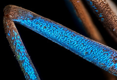 Leg of a Erasmia Pulchera Chinensis Moth (Macro Cosmos Microscopy) Tags: mitutoyo mplan apo 10x macro micro photomacrography nikon d810 thorlabs stackshot zerenestacker focusstacking mitutoyomplan10xapo microscopy erasmiapulcherachinensis moth scales erasmia pulchera chinensis