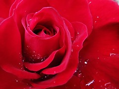 Stunning red rose with raindrops (janettehall532) Tags: redrose red rose rosephotography rosepetals naturephotography nature beautiful beauty beautyinnature gardenflowers gardenflower garden outdoors outdoorphotography photography photographylovers flowers flower flowerpetals floral bloom blooming blossom macrophotography macroflowers macro flickr flickrcentral huaweip30pro huawei colours flowersandcolours petals