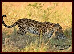 FEMALE LEOPARD AND HER CUB (Panthera pardus) ...MASAI MARA.....SEPT 2018. (M Z Malik) Tags: nikon d3x 200400mm14afs kenya africa safari wildlife masaimara keekoroklodge exoticafricanwildlife flickrbigcats leopard pantheraparduc ngc npc