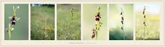 US850-436 (Weinstöckle) Tags: orchidee fliegenragwurz ophrysinsectifera