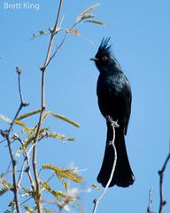 Phainopepla - arizona-3 (dbking2162) Tags: birds bird beautiful beauty nature nationalgeographic wildlife phainopepla black arizona explore eyes