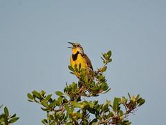 EASTERN MEADOWLARK (concep1941) Tags: birds blackbirdsubfamily grasslands