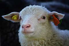 suspicious......::)) (KvikneFoto) Tags: lam lamb sau sheep nikon bokeh