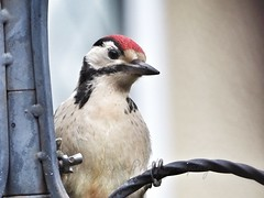 Great spotted woodpecker (Artybee) Tags: great spotted woodpecker bird garden feeding through window roughton moor lincolnshire