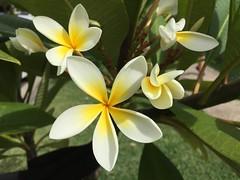 Frangipani (Plumeria rubra) (red.wolf) Tags: garden green plant flower white yellow frangipani plumeriarubra