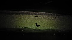 Closer (Elena SGnight) Tags: duck bird lake river water mountain forest animal animals nature natural green out outside explore blue colours contrast swim alone dark darkness shadows shape sun sunny