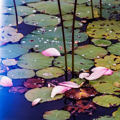 Fallen lotus petals - light leaks on the left (Thanathip Moolvong) Tags: fallen lotus petal hasselblad 501 cm 250mm f56 kodak portar 160 film medium format 6x6