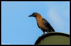 Morning watch (VERODAR) Tags: crow bird nature natureandwildlife wildlife morning scavenger nikon verodar veronicasridar