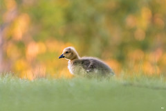 ''Duvet!'' bernache du Canada-Canada goose (pascaleforest) Tags: oiseau bird animal passion nikon nature wild wildlife faune québec canada