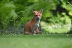 Red fox (Peter Granka) Tags: redfox fox