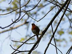 Rouge gorge (Erithacus rubecula) (Oeil de Linx) Tags: oiseaux chanteur chant oscinetougegorge arbre ciel branche