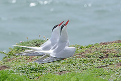 Arctic Terns courtship display. (E P Rogers) Tags: tern arctictern bill beak display pair bond courtship theskerries anglesey wales sternaparadisaea
