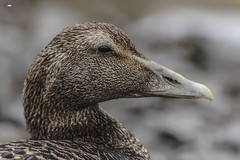 The Lady's Not For Turning (davidrhall1234) Tags: bird nature outdoors coast duck nikon beak feather northumberland coastal northumbria seahouses eiderduck birdsofbritain eidersomateriamollissima world sea portrait wildlife shoreline shore springwatch bbcspringwatch