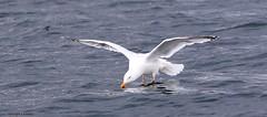 J78A0167 (M0JRA) Tags: scotland isles mull sea water waves boats reflections land birds holidays vacations sky clouds sunset sun deer fields roads gulls