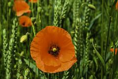 Mohnblüte am Wegesrand - Poppies beside the road (Kat-i) Tags: mohnblumen poppies blumen flowers rot red wildblumen wildflowers felder fields nikon1v1 kati katharina 2019