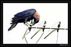 Exposed (VERODAR) Tags: crow bird wildlife nature wildbird scavenger morning exposed nikon verodar veronicasridar