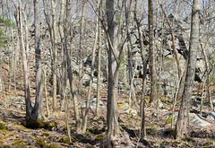 boulder swamp (ophis) Tags: milton woods swamp cliff quincygranite boulderswamp